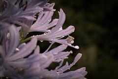 Agapanthus drops (ambrasimonetti) Tags: agapanthus raindrop drops agapanto azzurro blu blue fiore flower delicatezza shy fleur rain pioggia saveearth leggerezza lightness light