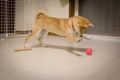 Yotsuba365 Day65 (Tetsuo41) Tags: dog shibainu yotsuba