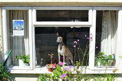 Sentinel (Bob Hawley) Tags: summerholidays suffolk southwold england nikond7100 nikon24f28 seaside houses buildings streetscenes dogs windows pets greyhounds