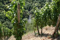 ckuchem-1441 (christine_kuchem) Tags: ahrtal anbau anbaugebiet eifel felsen rotweinwanderweg schiefer schieferfelsen sommer weinanbau weinberg weintraubenanbau weintrauben