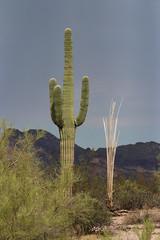 Saguaro Cactus - Circle of Life - 8210 (AZDew) Tags: superstitionmountains arizona lostdutchmanstatepark desert sonorandesert apachejunction apachetrail dead ribs beforeandafter lifeanddeath