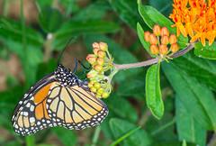 Monarch #1 (ScreaminScott) Tags: butterfly monarch butterflyweed