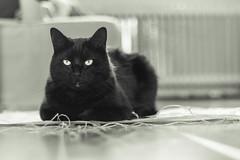 Annoyed cat (WillemijnB) Tags: chat kat katze woonkamer wohnzimmer huisdier dof bokeh radiotor kachel laminaat string touw touwtje bw zwartwit blackandwhite monochrome hmbt monochromebokehthursday depthoffield annoyed feline gato gatto felix ficelle