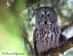 Great Grey Owl -  IMG_1176 (arvind agrawal) Tags: greatgreyowl owl wildlife bird raptor birdofprey greatgrayowl