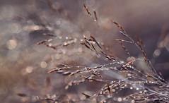Wer braucht schon ganze Blumenstrue, wenn berall getrocknetes Schnittgrn rumliegt. (Manuela Salzinger) Tags: heuhaufen haycock heu hay sommer summer abend evening wiese meadow pusteblume blowball