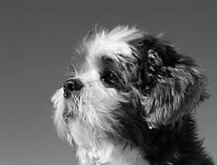 Shih tzu black and white (Franois Tomasi) Tags: shihtzu dog dogs blackandwhite noir blanc flickr pointdevue pov touraine tours france europe nikon  tibet tibtain chientibtain lumire light sobaka  sklos ghjacaru ngc