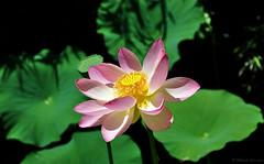 Lotus flower (Wils 888) Tags: nelumbo nucifera nelumbonucifera lotus flower indianlotus sacredlotus beanofindia flora nature nikon nikkor internationaldayofpeace un 2016 20160921 yellow pink garden