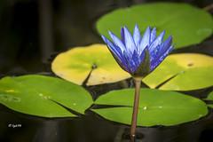 blaue Blte (hph46) Tags: blte blau pflanze wasserpflanze sony alpha7r
