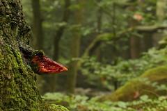 Beefsteak Fungus (Derbyshire Harrier) Tags: toadstool bracketfungus beefsteakfungus oakwoodlandoak 2016 summer longshawestate padleygorge nationaltrust easternmoors peakdistrict peakpark derbyshire darkpeak moss fistulinahepatica
