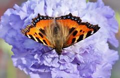 Fuchs (Hugo von Schreck) Tags: hugovonschreck schmetterling butterfly fuchs falter insekt insect outdoor canoneos5dsr tamron28300mmf3563divcpzda010 onlythebestofnature