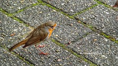 European Robin, Burgers Zoo, Netherlands - 4396 (HereIsTom) Tags: webshots travel europe netherlands holland dutch view nederland views you sony cybershot hx9v nature sun tourists cycle vakantie fietsvakantie cycling holiday bike bicycle fietsen robin zoo roodborst dierentuin burgers vogels birds european redbreast red