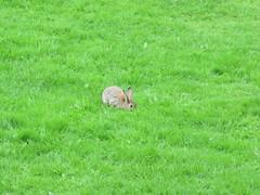 Wild wabbit (waldopepper) Tags: haworth thegreen rabbit