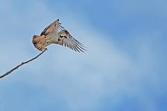 Osprey takes off (Ady G.) Tags: osprey raptor canon 1d4 500f4 bird
