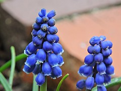 Common Grape-hyacinth  Muscari botryoides  Hyacinthaceae  Hyacinthus (Sheila's collection) Tags: common grapehyacinth   asparagaceae hyacinthaceaescilloideae