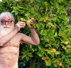 Apple Or Persimmon (outdoorPDK) Tags: adam gardenofeden fuyu persimmontree nakedadam