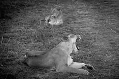Leonas / Lionesses (rrmontero) Tags: leon lion masaimara sabana africa kenya kenia animal blancoynegro bn bw