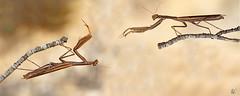 rencontre du 3 eme type (natur6belle) Tags: mantereligieuse insecte deux pattes attaque defense branche animal