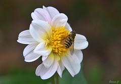 Hover Heaven (Eleanor (No multiple invites please)) Tags: dhalia hoverfly whiteflower busheyrosegarden bushey uk nikond7200 september2016