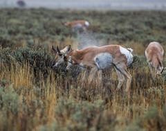 Pronghorn Shake (GrandTetonNPS) Tags: grandteton nationalpark moose wyoming unitedstates us