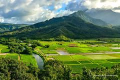 Hanalei Valley Taro Fields - Kauai (jhambright52) Tags: hanalei hanaleivalley tarofieldskauai