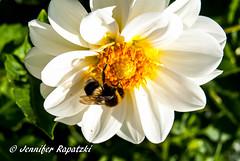 Weie Blume mit Hummel (Bernsteindrache7) Tags: flora fauna flower park landscape outdoor garden bloom blossom blume color summer sony alpha 100 insect
