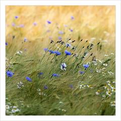 Monet Monet Monet (BegMeil44) Tags: beyondbokeh kornblumen cornflowers