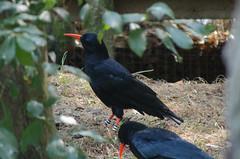 Chough Wildwood 270816 (Dan86401) Tags: chough crow pyrrhocoraxpyrrhocorax bird wildlife animal nature corvidae wildwood