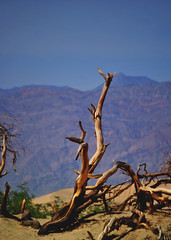 Dead Tree I Death Valley (Mr. Loeding) Tags: death valley dead tree range nature fire desert california usa united states of america contrast distance fade out heat sand plants sky blue yellow brown green nikon dslr