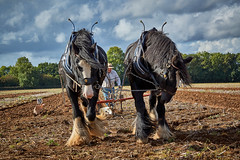 DSC05670 (Andy Oldster) Tags: eashing godalming farm plough ploughing heavyhorses shire sony alpha a65 slt