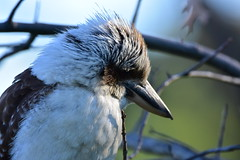 Tame Kookaburra (Luke6876) Tags: laughingkookaburra kookaburra kingfisher bird animal wildlife australianwildlife