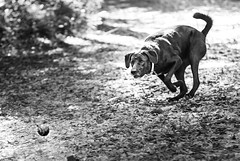 The Chase (pt. 1) (vZwicky) Tags: dailyinpentaxforums smctakumar85mm18 blacklab dog fetch pentaxk1 monochrome
