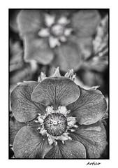 Strawberry flower (Artico7) Tags: flower strawberry petals stami antere stigma stamens anthers fragola petali fiore bw blackwhite blackandwhite biancoenero monochrome boranica botany fuji xe1 nikkor55mm