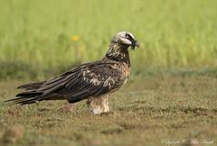 Bearded Vulture (Gypaetus barbatus) (www.mikebarthphotography.com 1M + Views thanks !) Tags: birds ethiopia gypaetusbarbatus beardedvulture bird
