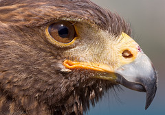 Crop... (Glenn van Windt) Tags: parabuteounicinctus aves bird vogel birdofprey roofvogel raptor portrait hawk buizerd harrisshawk woestijnbuizerd nature natuur canonef300mmf28lisusm