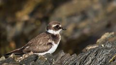 Bird in the rocks (Pascal Bernardin) Tags: grandgravelot charadriushiaticula commonringedplover