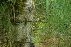 Live Strainer. (artanglerPD) Tags: live rowan tree strainer barbed wire broom