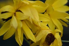 Rudbeckia Laciniata 15.10 (5) (tabbynera) Tags: rudbeckia