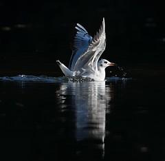 MRC_3801 (Obsies) Tags: patos gaviotas seagull lake laguna cangas morrazo ducks sigma300800 sigmonster nikon nikond500 zenelli naturaleza nature openair airelibre