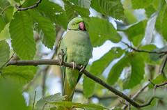 DSC1346 Parakeet.. (jefflack Wildlife&Nature) Tags: ringneckedparakeet parakeet birds avian wildlife wildbirds woodlands exotic parks royalparks richmond bushypark countryside nature