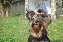 (quadros_larissa) Tags: terrier pet red yorkshire yorkie puppy