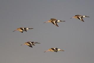 Black Tailed Godwits (Explored 18-10-16)