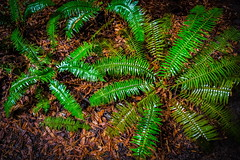 Collecting Rain (Sonarsgs) Tags: redwoods plants ferns nature forest headlands mendocino outdoors rain green trees