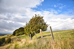 Windswept Chiltern Tree (thejtype) Tags: wind tree trees chilterns england outdoor nature fence barbed wire nikkor f28