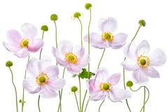 Japanese Anemones (Mandy Disher) Tags: japaneseanemones summer flower floral flora garden plant whitebackground highkey pink white green yellow