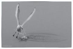 Seagull. (sdupimages) Tags: nb bw noirblanc blackwhite seagull mouette birds oiseaux