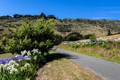 Green, White and Blue (Jocey K) Tags: newzealand southisland bankspeninsula hills sky road summer scene landscape littleakaloa agapanthus flowers trees shadows