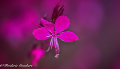 Red Rainy day (frederic.gombert) Tags: flower flowers rain raindrop drop droplet red pink water color colors plant garden macro nikon d810