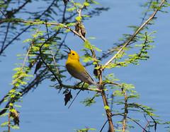 Prothonotary Warbler Protonotaria citrea_8203 (Alice & Seig) Tags: spring16 birds passeriformesperchingbirds newworldwarblersparulidae mississippi flickr philipp unitedstates
