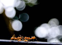 G.D (Naveen Gopalakrishnan) Tags: ants bokeh group huddle dicussion teamwork cable tagabuse little life beauty nature thing ilove nikon nikond3200 nvn 1855 kitlens macro