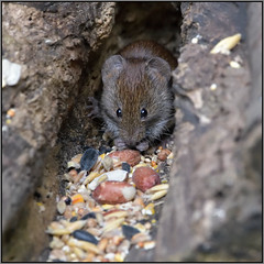 Bank Vole (Full Moon Images) Tags: barnwell country park wildlife nature animal mammal bank vole